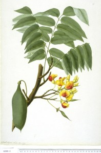 Castanospermum austral watercolour just Sydney Parkinson [after] Watercolour The Trustees of the Natural History Museum