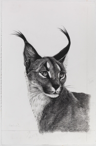 Caracal, 60cm x 88cm, Charcoal on paper