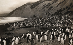 Frank Hurley, Royal_Penguins on Nugget's Beach, Macquaire Island, 1911 © the artist, courtesy of Beetles+Huxley and Osborne Samuel