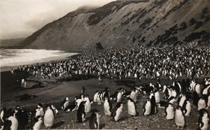 Frank Hurley, Royal_Penguins on Nugget's Beach, Macquaire Island, 1911 © the artist, courtesy of Beetles+Huxley and Osborne Samuel