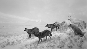 """Hiroshi Sugimoto Alaskan Wolves, 1994 gelatin silver print 47"""" x 83"""" (119.4 cm x 210.8 cm) Edition 2 of 5 Edition of 5 © Hiroshi Sugimoto, courtesy The Pace Gallery"""