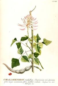 Trew C. J., Plantae Selectae, dec. I, Tab. VIII;