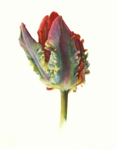 JONATHAN COOPER, PARK WALK GALLERY Tulip 'Rococo' Study Fiona Strickland Watercolour on vellum 9.06 x 7.09ins (23 x 18cm)