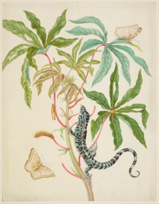 Cassava with White Peacock Butterfly and young Golden Tegu, 1702-03 Royal Collection Trust (C) Her Majesty Queen Elizabeth II 2016.