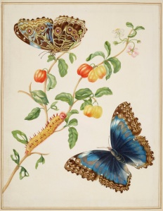 Branch of West Indian Cherry with Achilles Morpho Butterfly, 1702-03 Royal Collection Trust (C) Her Majesty Queen Elizabeth II 2016.