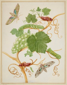 Grape Vine with Vine Sphinx Moth and Satellite Sphinx Moth, 1702-03 Royal Collection Trust (C) Her Majesty Queen Elizabeth II 2016.