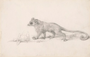 George Stubbs 'Marmaduke Tunstall's Mouse Lemur' 1773 Pencil on paper 19.8 x 30.8 cm © Trustees of the British Museum