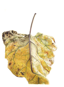 Jess Shepherd (Living) Indian Bean Tree (Catalpa bignonioides). Belicena, Granada, Spain. Watercolour on 100% cotton rag paper 2016 76 x 56cm Abbott and Holder